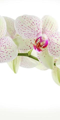 С-394 Орхидея веточка  300*270 см ФОТОПАННО